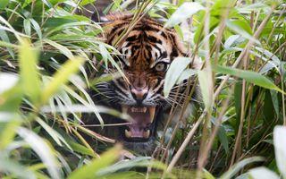 Тигр рычит из кустов сверкая клыками