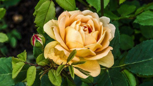 Бесплатные фото природа,роза,желтая,бутон,куст