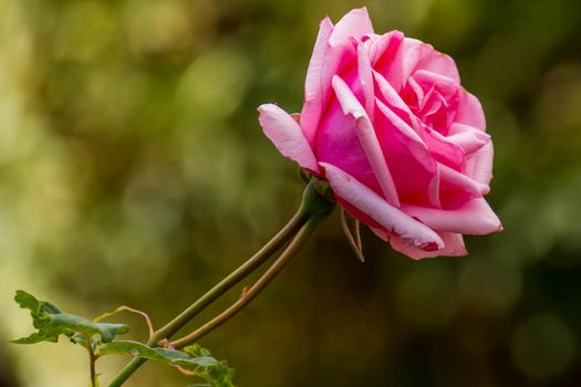 Photo free flowers, flower, pink rose