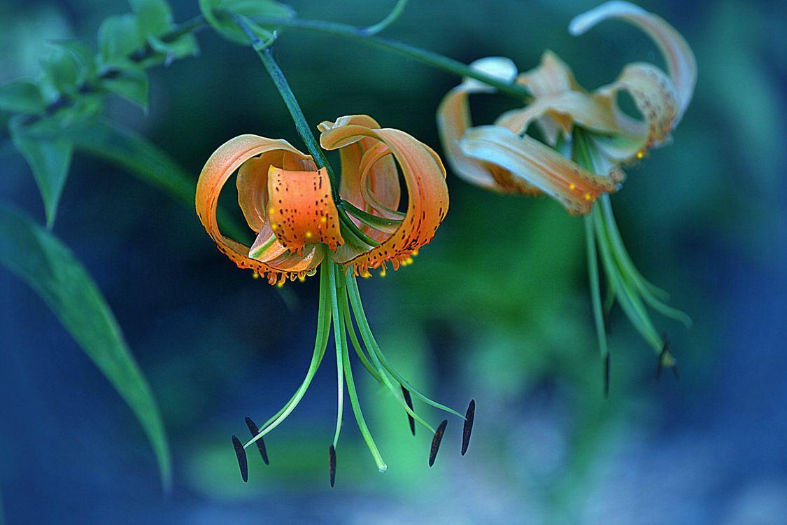 Фото бесплатно растение, лилии, цветы - на рабочий стол