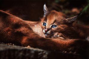 Фото бесплатно котенок, лес, степная рысь