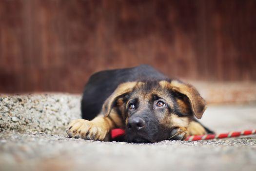 Фото бесплатно Немецкая овчарка, лежа, собаки