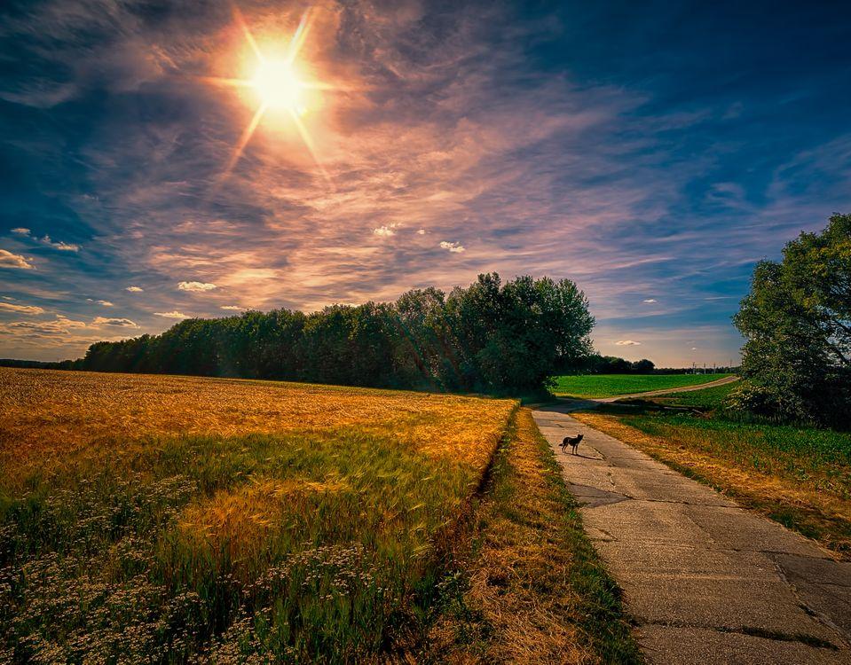 Фото бесплатно Landschaft, Niederrein, Германия, закат, поле, колосья, дорога, деревья, лес, природа, собака, пейзаж, пейзажи