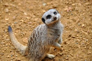 Бесплатные фото Meerkat,красивый,удивленный,Chester Zoo,England,United Kingdom