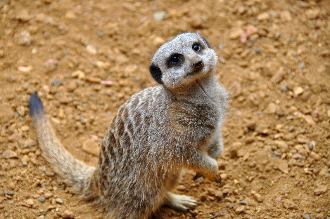 Фото бесплатно Meerkat, красивый, удивленный, Chester Zoo, England, United Kingdom, животные