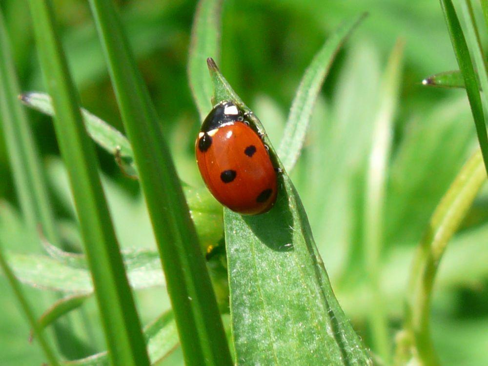 Обои растение, божья коровка, макро, насекомое, зелёный, трава на телефон | картинки насекомые - скачать