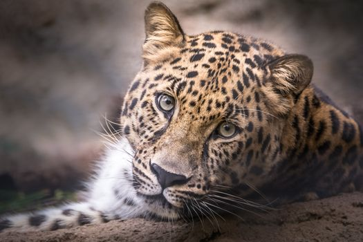Now that`s a leopard`s face! - free photo
