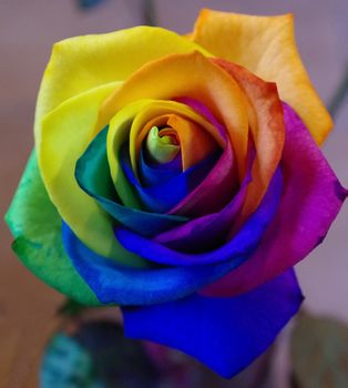 Colorful rose, colorful