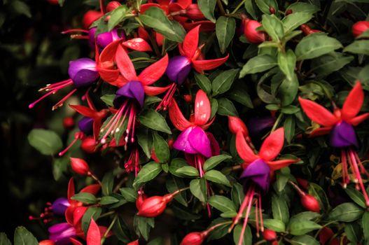 Photo free graceful flower Room fuchsia, plant, flora