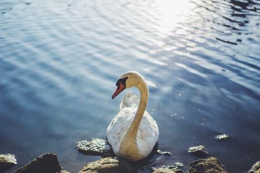 Фото бесплатно лебедь, вода, птица