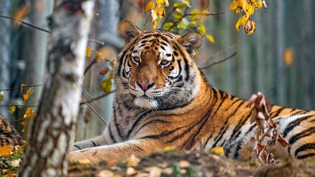 Autumn Tiger - free photo