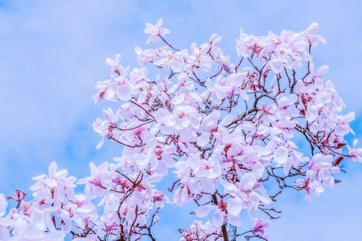 Бесплатные фото тюльпан магнолии,дерево,отделение,магнолиа блоссом,цветы,белый,розовый,magnoliengewaechs,декоративный,весна,магнолия,цвести