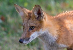 Заставки лиса, взгляд, Red fox