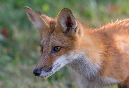 Фото бесплатно лиса, взгляд, Red fox