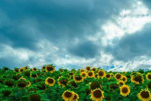 Бесплатные фото подсолнух,подсолнухи,цветы,флора,поле,небо