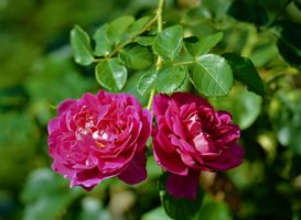 Фото бесплатно роза, розы, пурпурные розы, цветы, цветок, флора
