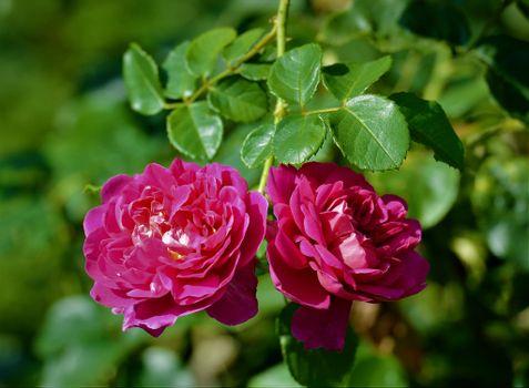 Бесплатно цветы, роза скачать фотографию