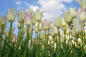 Белые тюльпаны и небо