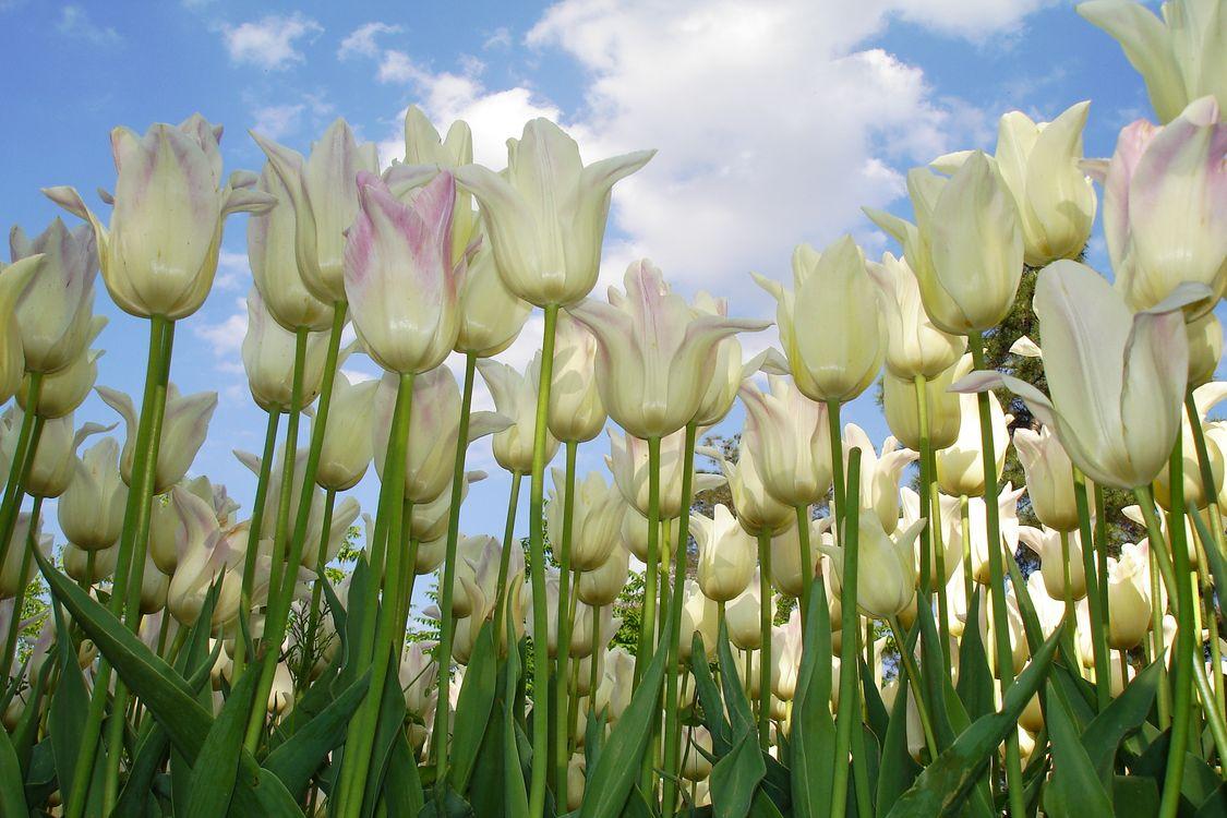 Белые тюльпаны и небо · бесплатное фото