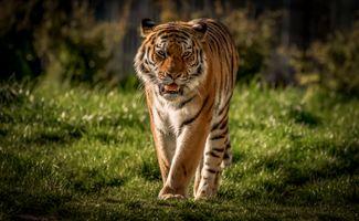 Фото бесплатно хищник, Panthera tigris altaica подвид тигра, Amur tiger