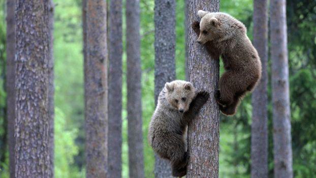Photo free bears, trees, wildlife