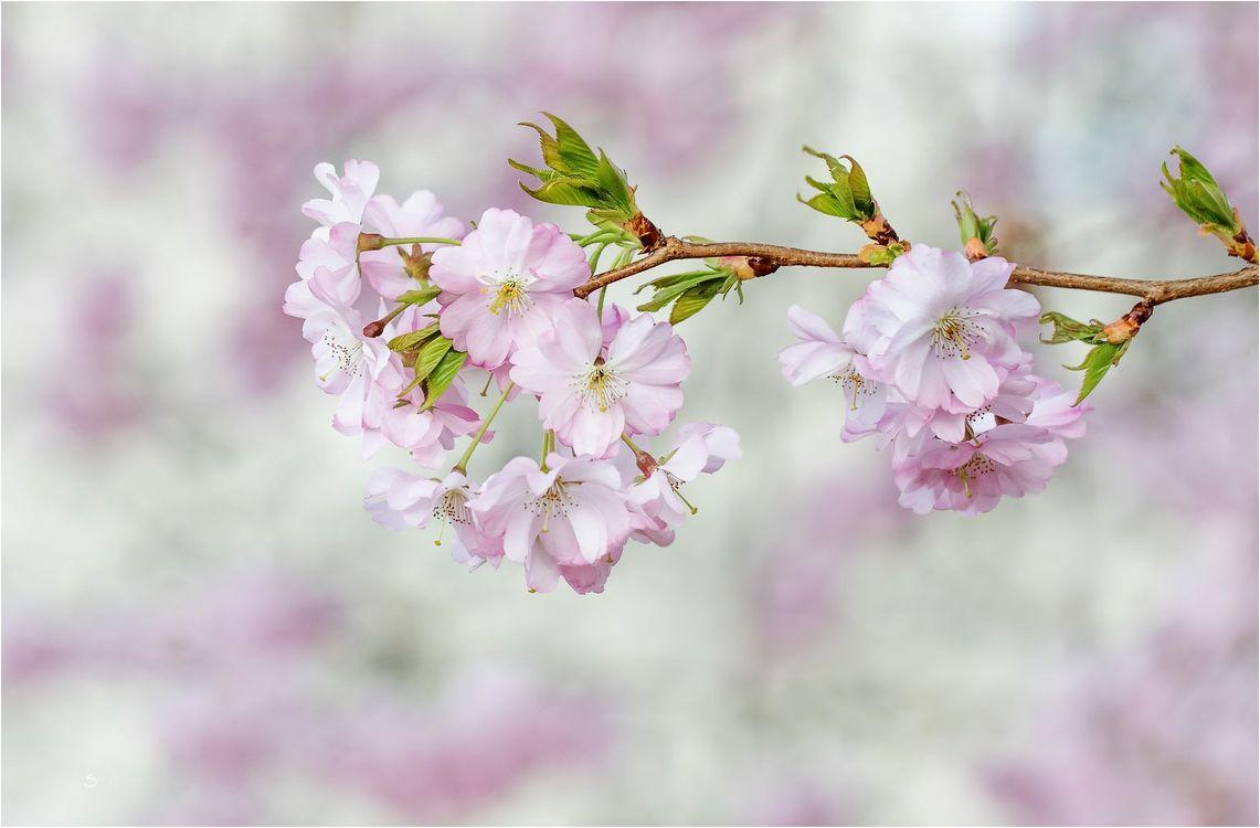Сакура · бесплатное фото