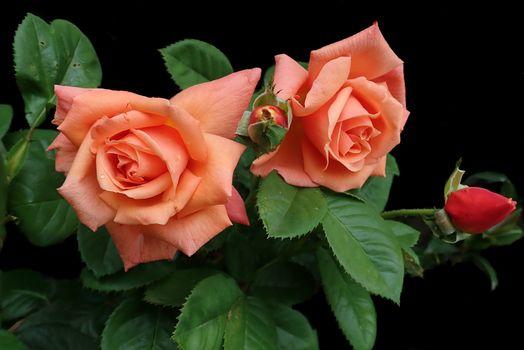 Две розовые розы