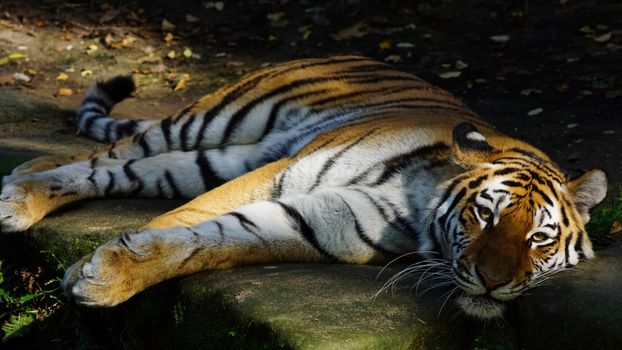 The handsome tiger lies on the stones · free photo