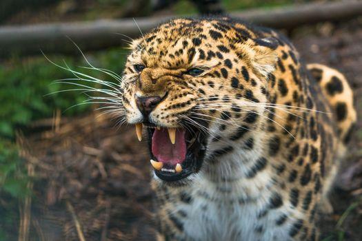 Photo free predator, fangs, aggression