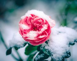 Ветка розы в снегу