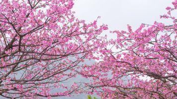 Заставки дерево сакуры, розовые лепестки, весна