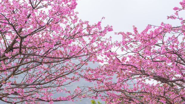 Photo free a Sakura tree, pink petals, spring