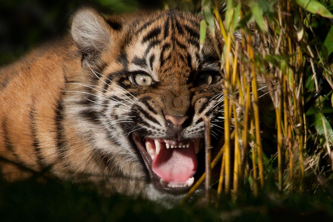 Маленький тигренок шипит от страха · бесплатное фото