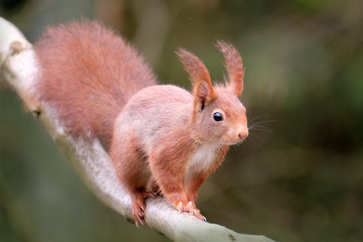 Photo free squirrel on branch, red, animal