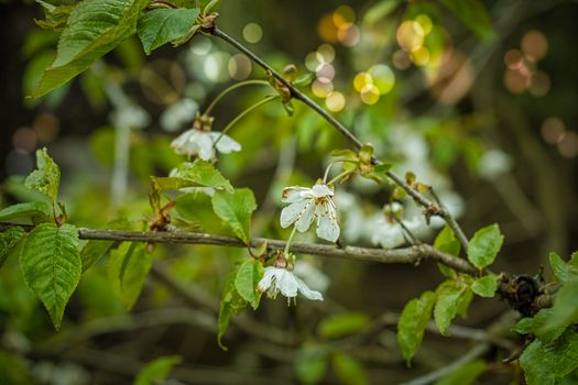 Photo free spring, blossoming branch, leaves
