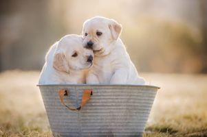 Два щеночка в тазике