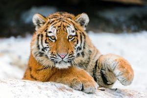 Фото бесплатно тигр морда, взгляд, поза