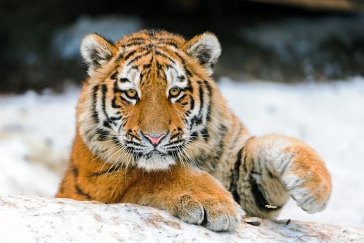 Photo free tiger face, view, pose