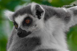 Бесплатные фото кошачий,лемур,катта,Lemur catta
