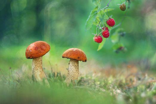 Photo free orange-cap boletus, raspberry, mushroom