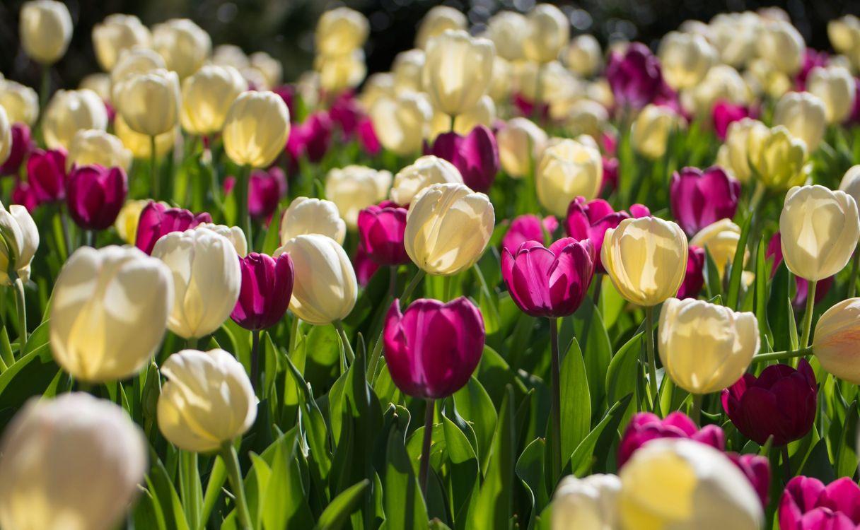 Фото бесплатно тюльпаны, много, клумба, природа, цветы