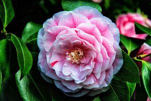 Фото бесплатно Camellia, цветок, флора, макро, цветение