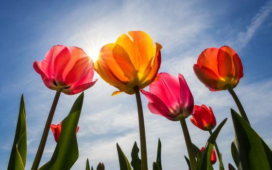 Заставки красочные тюльпаны, солнечный свет, облака
