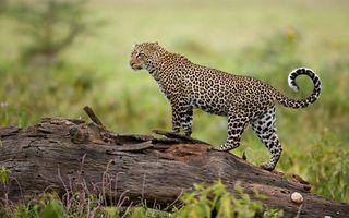 Заставки леопард, большие кошки, хищник