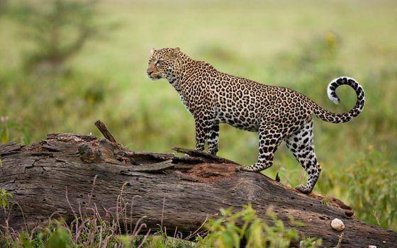 Фото бесплатно леопард, большие кошки, хищник