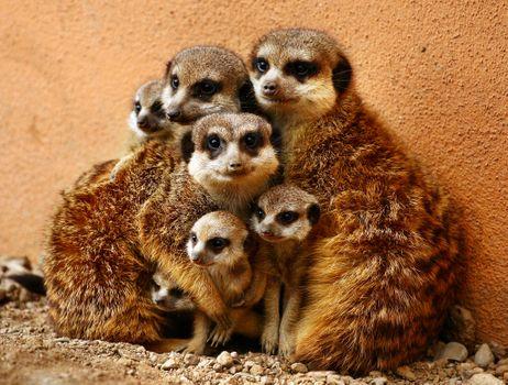Семья сурикатов · бесплатное фото