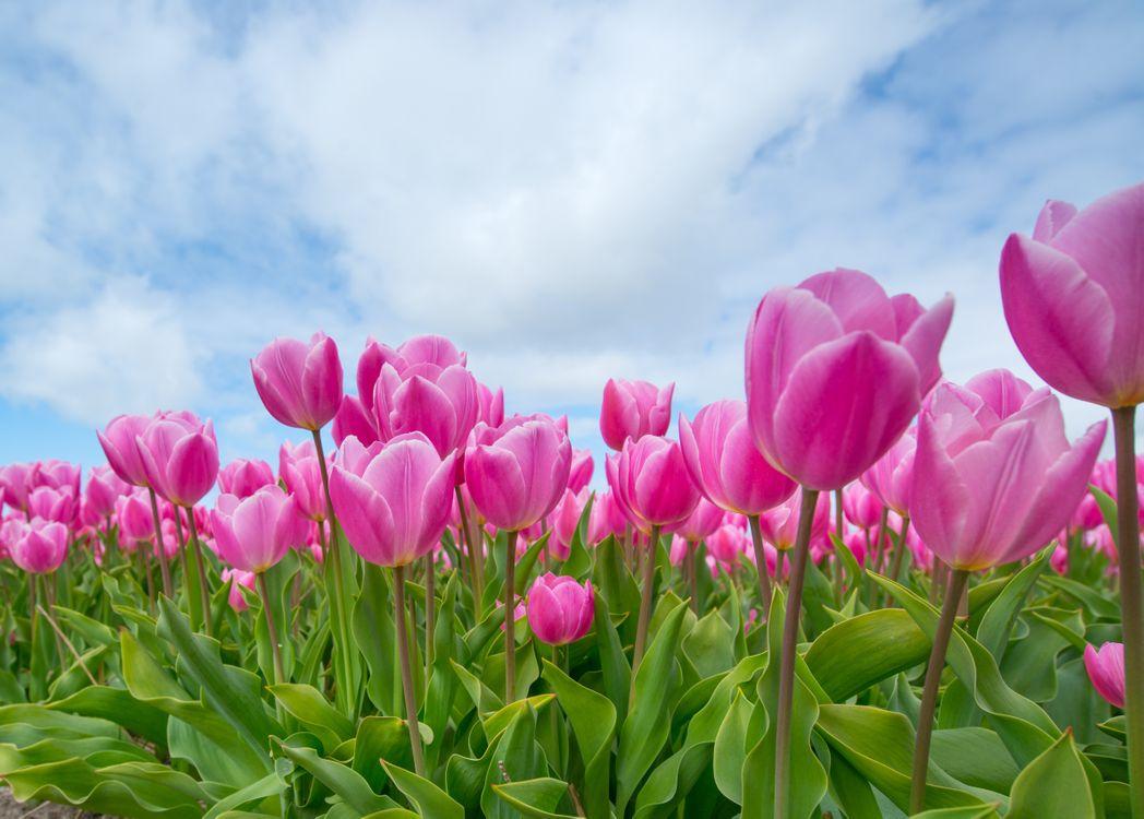 Фото бесплатно поле, тюльпаны, небо, цветы, флора, цветы