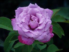 Роса и фиолетовая роза