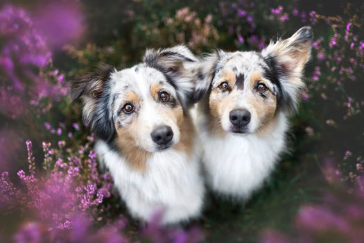 Двойняшки аусси