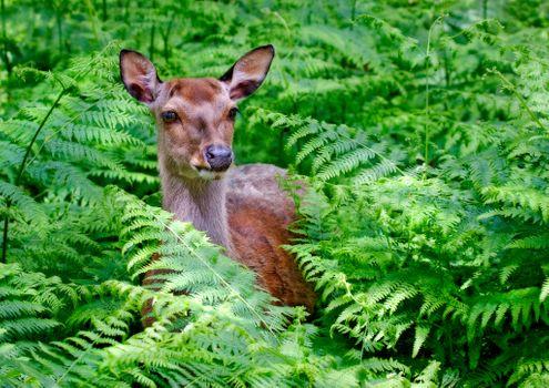 Заставки Красный олень, животное, папоротник